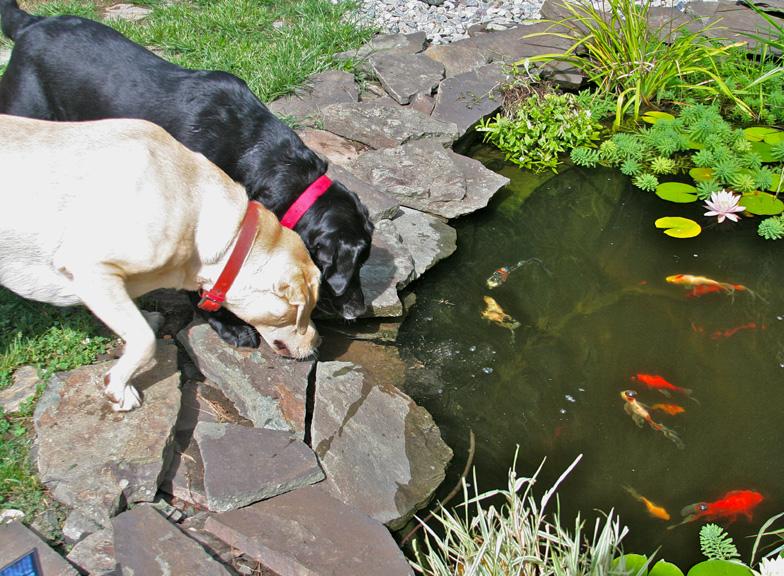 Photo labrador for Koi pond labradors