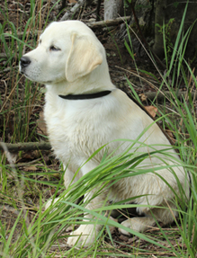Redlion Dog Kennel breeder of Chesapeake Bay Retrievers and